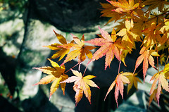 Autumn colour, Yuka Jinja (Eric Flexyourhead) Tags: naramachi nara narashi 奈良市 kansai 関西地方 japan 日本 yukajinja yukashrine 瑜伽神社 shrine shinto japanese detail fragment autumn fall leaf leaves maple yellow red foliage shallowdepthoffield ricohgr