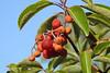 Strawberry tree (Sergey Yeliseev) Tags: strawberrytree arbutusunedo земляничноедерево