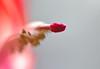 zygo pistil 1 (MTSOfan) Tags: pistil zygocactus christmascactus reproductive pink