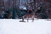 Cold Morning for the Zebras (zenseas behind but catching up) Tags: december burchellszebra washington winter cold equusburchellii plainszebra phinneyridge snowy equusquagga woodlandparkzoo seattle snow zebra zebras eating