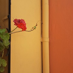Le géranium rouge (maggy le saux) Tags: geranium cardenal tonschauds red rojo rouge orange naranjo flor fleur flower pipe tube canalisation tuyau