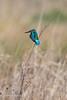 Kingfisher (Marcin Kaluza) Tags: bird kingfisher chimneymeadows animal