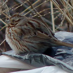 Song Sparrow thumbnail