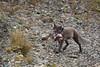 Brutal Reality of Nature (blkwolf1017) Tags: arcticfox fox vulpeslagopus alaska northslope arctic migratorybirds prey canon50d sigma150600mm