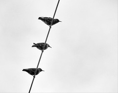 birds on electric cable (lgonzaloro) Tags: electric bird cable background white blue nature sky outdoor animal wildlife line environment wild fly wing wire beautiful silhouette cloud sitting alone birds color perched bw odd