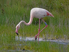 Phoenicopterus ruber /  Fenicottero /     Greater flamingo (Alvaro Colombo) Tags: coth coth5 nationalgeographicwildlife fantasticnature ngc