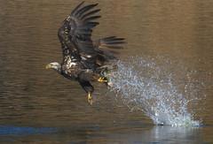 Bald Eagle with fish in 1 talon! (Atascaderocoachsam) Tags: haliaeetusleucocephalus baldeagle