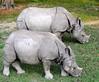 coppia di rinoceronti al pascolo (albertotenconi) Tags: rinoceronte mammifero nepal
