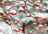 Dogberries (Karen_Chappell) Tags: dogberries rowan tree branches nature snow red white mountainash stjohns grandconcourse newfoundland nfld winter december cold bokeh atlanticcanada avalonpeninsula canada eastcoast berries