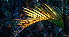 2017 - Mexico - Zihuatanejo - Sun on Palm Fronds (Ted's photos - Returns 23 Jun) Tags: 2017 cropped mexico nikon nikond750 nikonfx tedmcgrath tedsphotos tedsphotosmexico vignetting zihuatanejo fronds sunlight palm bokeh