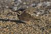 Horned Lark - Mount Comfort Airport, IN (wilsonchristopheradam) Tags: bird birding hornedlark mountcomfortairport in indiana nikon nikonbirdhunter adamwilson2017