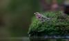 Vink - Chaffinch - Fringilla coelebs -1709 (Theo Locher) Tags: fringillacoelebs vink vogels buchfink pinsondesarbres chaffinch birds vogel oiseaux netherlands nederland copyrighttheolocher