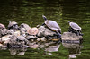 Turtle Life at Hikawa Shrine (crmanski) Tags: hikawashrine omiya saitama japan turtle