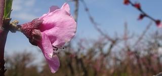 peach flower, side view, Hwy 11