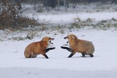 Red fox meet and greet 3 (rangerbatt) Tags: