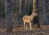 Sideways light (Lindell Dillon) Tags: buck deer whitetail wildlife nature light sidelight goldenhour oklahoma crosstimbers lindelldillon fall rut