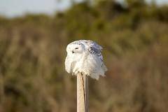 Snow day Snowy Owl (Mannington Creek) Tags: snowy owl arctic tundra bird rare nj canon canon80d canonusa shore nature visitor white ngc