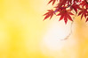 hold the light (hitohira_) Tags: flower flowers nature bokeh leaves maple