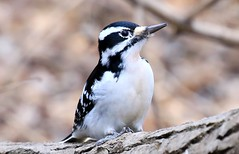 hairy woodpecker female at Ambro Slough, Upper Mississippi River NWR WI 854A2007 (lreis_naturalist) Tags: hairy woodpecker female ambro slough upper mississippi river fish wildlife refuge wisconsin larry reis