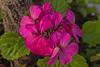 Malvon (Wal Wsg) Tags: 7dwf flora flowers flower malvon argentina argentinabsas buenosaires caba capitalfederal ciudadautonoma ciudaddebuenosaires naturaleza nature natural naturale colors colores phwalwsg