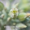 Kalanchoe thyrsiflora-5 (SUBENUIX) Tags: crassulaceae kalanchoethyrsiflora suculentas subenuix subenuixcom planta suculent suculenta botanic botanical