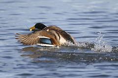 The Mallard (Anas platyrhynchos) (Nemanja Zotovic PHOTOGRAPHY) Tags: duck patka wings canon 1dx 70200 capturingmoments eos1dx feathers