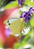 Yellow Butterfly 033 (DMT@YLOR) Tags: geishagirl tree shrub bush goodna ipswich queensland australia bougainvillea