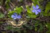 Osterluzeifalter │ Southern festoon │ Zerynthia polyxena (Bluesfreak) Tags: osterluzeifalterzerynthiapolyxena schmetterlinge tagfalter