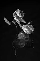 20171223-IMG_9252 (Ginab65) Tags: lunaria annua honesty plant brach seed seeds pods dried tree black white mono