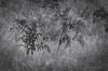 "SDIM3395-sd1- ""Felci""-  agfa colostar  95mm f4.5 (ciro.pane) Tags: sigma sd1 merrill foveon promontorio punta campanella felce pteridium aquilinum secca forma bella inquietudine bianconero italia italy italien italie enlarging lens bokeh contributo sfocato"
