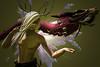 Dragon (Niki Wirefly) Tags: fae fairy fairey faerie male fantasy colour secondlife dragon wings niki sl
