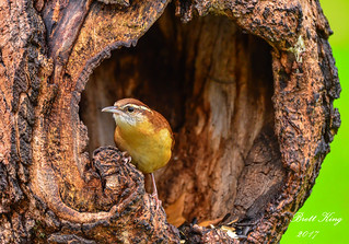 Carolina Wren - Escaping the Rain II