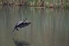 DSC_4320 (rtatn8) Tags: amwellnr hertfordshire england uk wildlife bird flikr cormorant phalacrocoraxcarbo