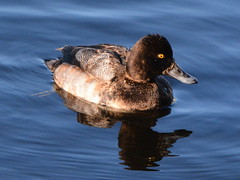 FEMALE LESSER SCOUP,   MILL LAKE,  ABBOTSFORD,   BC. (vermillion$baby) Tags: lesserscoup milllake abbotsford bc bird duck reflections nature winter snow milllakepark water fraservalley bright beautifulbc