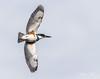 AA2I7325 (Ashala Tylor Images) Tags: kingfisher beltedkingfisher sanluisobispo flight flying sky