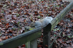 Squirrel (umphotography) Tags: swans rufford park abbey nottinghamshire mansfield ollerton a614