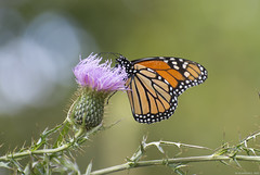 Butterfly 2017-181 (michaelramsdell1967) Tags: monarch butterfly butterflies macro nature animal animals green insect insects bokeh meadow field wild wildlife wilderness upclose closeup vivid vibrant beauty beautiful wildflower thistle pretty outside bug bugs zen