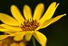 Sunflower - Topinambur (pstenzel71) Tags: blumen samyang100mm28macro topinambur sonnenblume sunflower flower darktable samsungnx bokeh