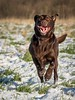 Incoming Craziness (Chris Willis 10) Tags: dogssnow dog pets animal canine outdoors cute purebreddog grass puppy mammal nature domesticanimals looking brown blackcolor retriever summer friendship playful fun