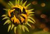 sunflower (Heinze Detlef) Tags: sunflower sonnenblume pflanze blätter blüte stengel kerne makro macro