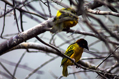 Thoughtful (gina.nicole.tesloff) Tags: birds yellow wings tree features beauty wildlife woodland enchanting exotic texture tiny trees up outdoors outside overhead pattern pretty perspective artistic animal summer sky detail delicate depth glow light life leaves zoology canon contrast colour colourful color cute creature cheeky view beautiful bright nature natural macro bird