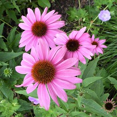 Wheaton, IL, Cantigny Park, Pink Coneflowers (Mary Warren 9.8+ Million Views) Tags: wheatonil cantignypark nature flora plants garden park pink macro blooms blossoms flowers coneflowers