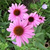 Wheaton, IL, Cantigny Park, Pink Coneflowers (Mary Warren 9.6+ Million Views) Tags: wheatonil cantignypark nature flora plants garden park pink macro blooms blossoms flowers coneflowers