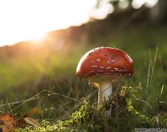 Svamptider (Stefan Olsson / CAVOK photo) Tags: svamp flugsvamp motljus skåne