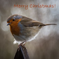 Season's Greetings (Explore) (babs pix) Tags: robin christmas birds winter