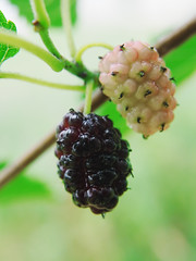 Mullberry at the branch wet after rain (mironenko1990) Tags: mulberry fruit tree black nature leaf background food healthy red isolated ripe white fresh mulberries berry green color natural plant sweet dark organic purple juicy branch closeup colorful freshness vegetarian refreshment wet water rain nutrient fruity blackberry macro group summer health ingredient
