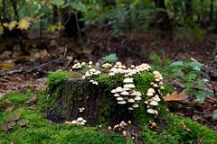 Zeisterbos, Zeist, Netherlands (NH) (CBP fotografie) Tags: herfst autumn nederland netherlands holland utrecht provincieutrecht zeist bos zeisterbos landschap paddestoel landscape