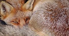 2612a (Yvonne Steenbergen Zandvoort) Tags: vos vossen fox nature natuur yvonnesteenbergen green animal animals dier dieren