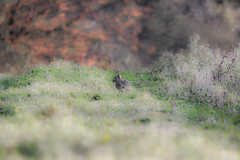 wild rabbit scene (Paul Wrights Reserved) Tags: rabbit rabbits wildanimal wildlife wildrabbit bokeh grass green bushes mammal animal soft focus
