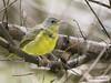 Mourning Warbler (Geothlypis philadelphia) ♂ (Gmo_CR) Tags: geothlypisphiladelphia mourningwarbler reinitaenlutada costarica coronado patiodeagua macho male inmaduro immature